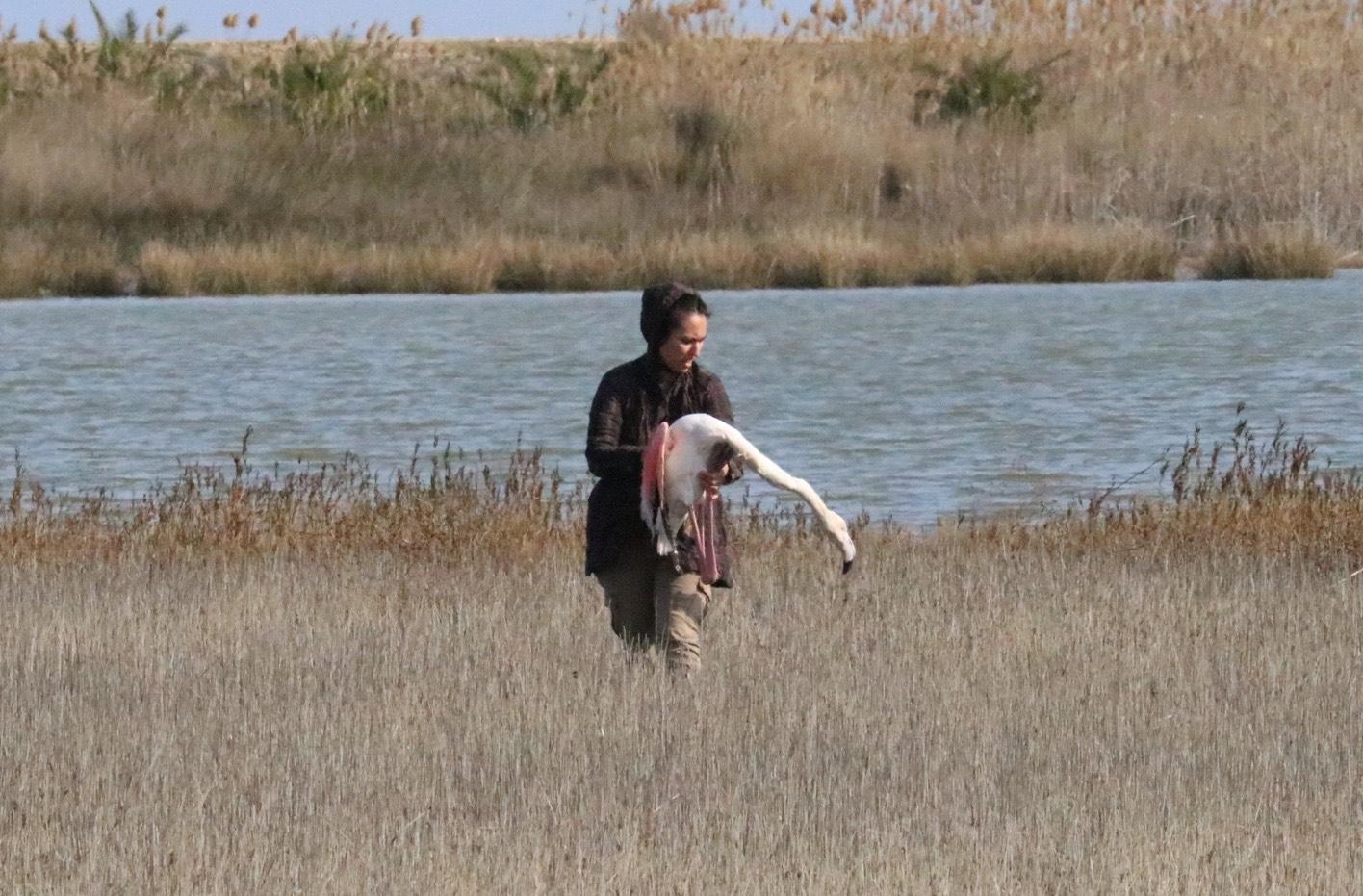 Χαλκιδική: Δεκάδες φλαμίνγκο καταπίνουν σκάγια και πεθαίνουν στη λιμνοθάλασσα