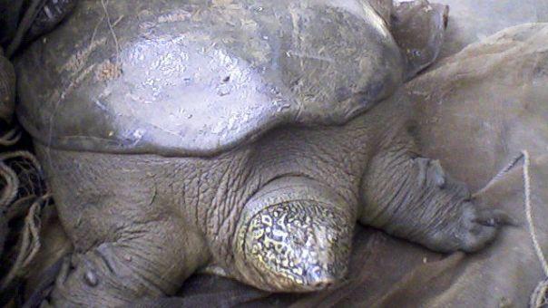 Πέθανε μια από τις πιο σπάνιες χελώνες στον κόσμο. Έμειναν τρεις