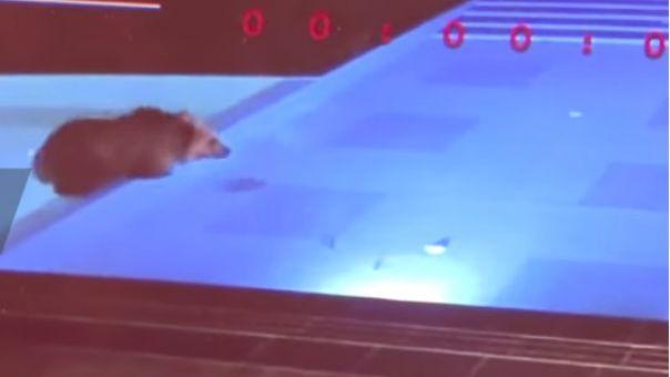 """Αρκούδα - κολυμβητής: """"Πιάστηκε"""" να δροσίζεται τα βράδια σε πισίνα ξενοδοχείου και έγινε viral (Video)"""