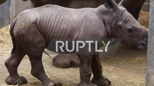Σπάνιο είδος: «Λιώνει το διαδίκτυο» με τον Λευκό Ρινόκερο που γεννήθηκε στο Βέλγιο (vid)