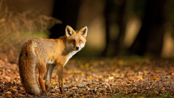 Γρεβενά: Νεκρή αλεπού από δηλητηριασμένα δολώματα