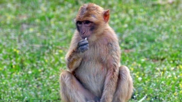 Ανοίγει το κουτί της Πανδώρας: Οι πρώτες χίμαιρες ανθρώπου-μαϊμούς- Διχάζουν επιστήμονες
