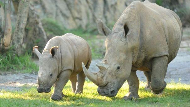 Λευκός ρινόκερος γεννήθηκε στο θεματικό πάρκο Disney Animal Kingdom