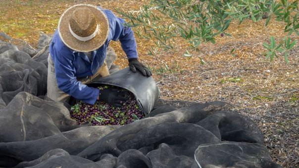 Άνοιξε η πλατφόρμα για αιτήσεις ενίσχυσης για ελιές Καλαμών, καρπούζι, πατάτα, θερμοκήπια Κρήτης