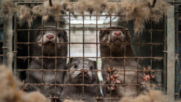 Καστοριά-Κορωνοϊός: Θετικοί δύο εργαζόμενοι σε φάρμα με μινκ