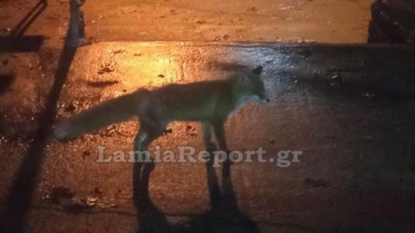 Φθιώτιδα: Σκότωσε αλεπουδάκι που τάιζαν οι συγχωριανοί του