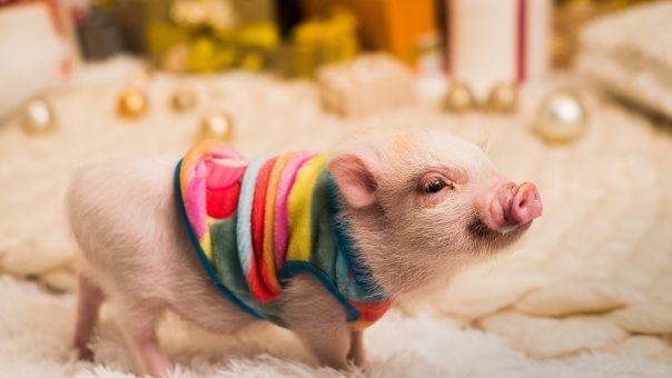 Απίστευτο: Ερευνητές έμαθαν σε γουρούνια να παίζουν βιντεοπαιγνίδια με τη μουσούδα τους