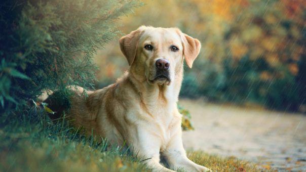 Ελπιδοφόρα μελέτη από Γαλλία: Αξιόπιστη διάγνωση κορωνοϊού χάρη στην όσφρηση των σκύλων