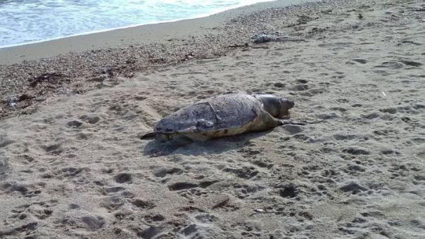 Ελλάδα: Πάνω από 700 οι νεκρές θαλάσσιες χελώνες το 2020- Ποια τα αίτια