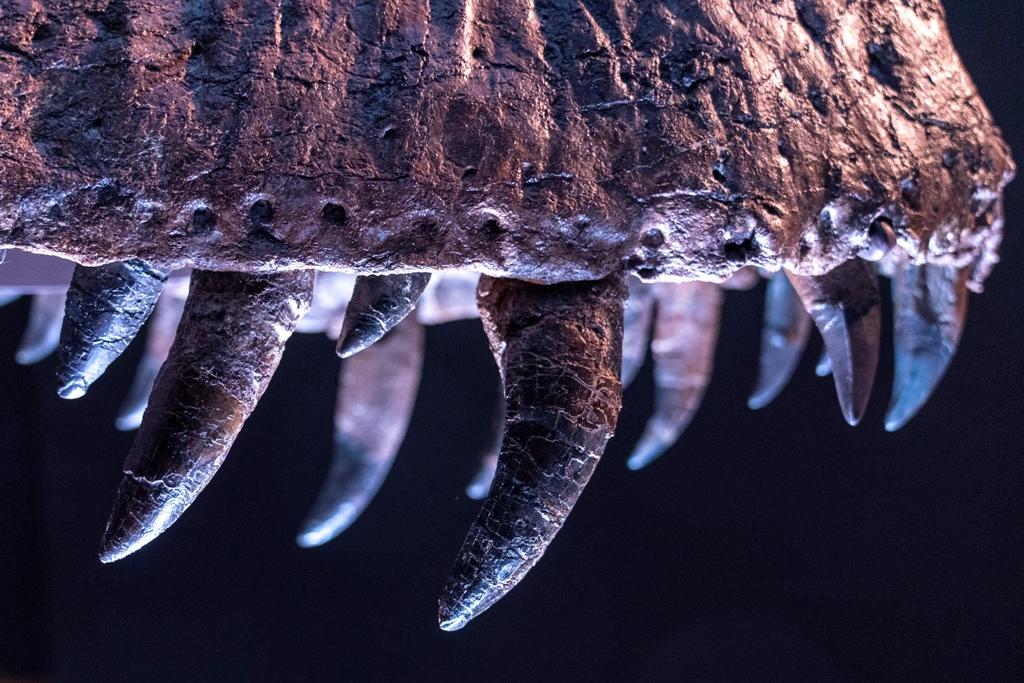 """Στο """"σφυρί"""" σκελετός τυραννόσαυρου Ρεξ - Κατακυρωθηκε έναντι 28 εκατ. δολαρίων"""